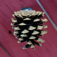Natural Norway Pine Cones - 4 Dozen - Small Size